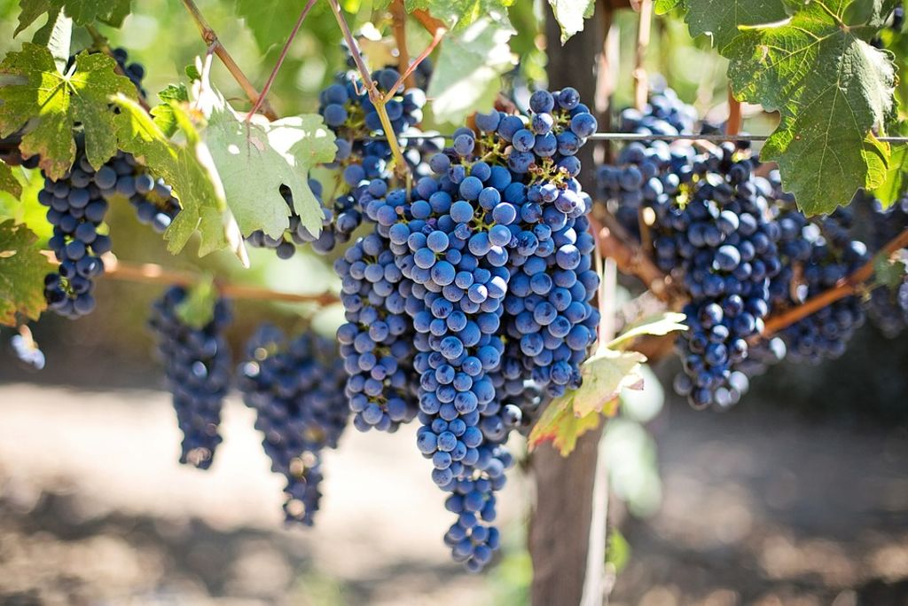 grapes on a vine in Texas wine country