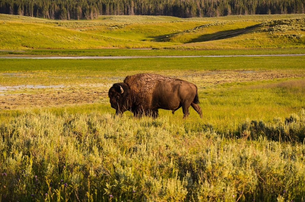See bison and other wildlife roam the plains when you go glamping or camping near Yellowstone