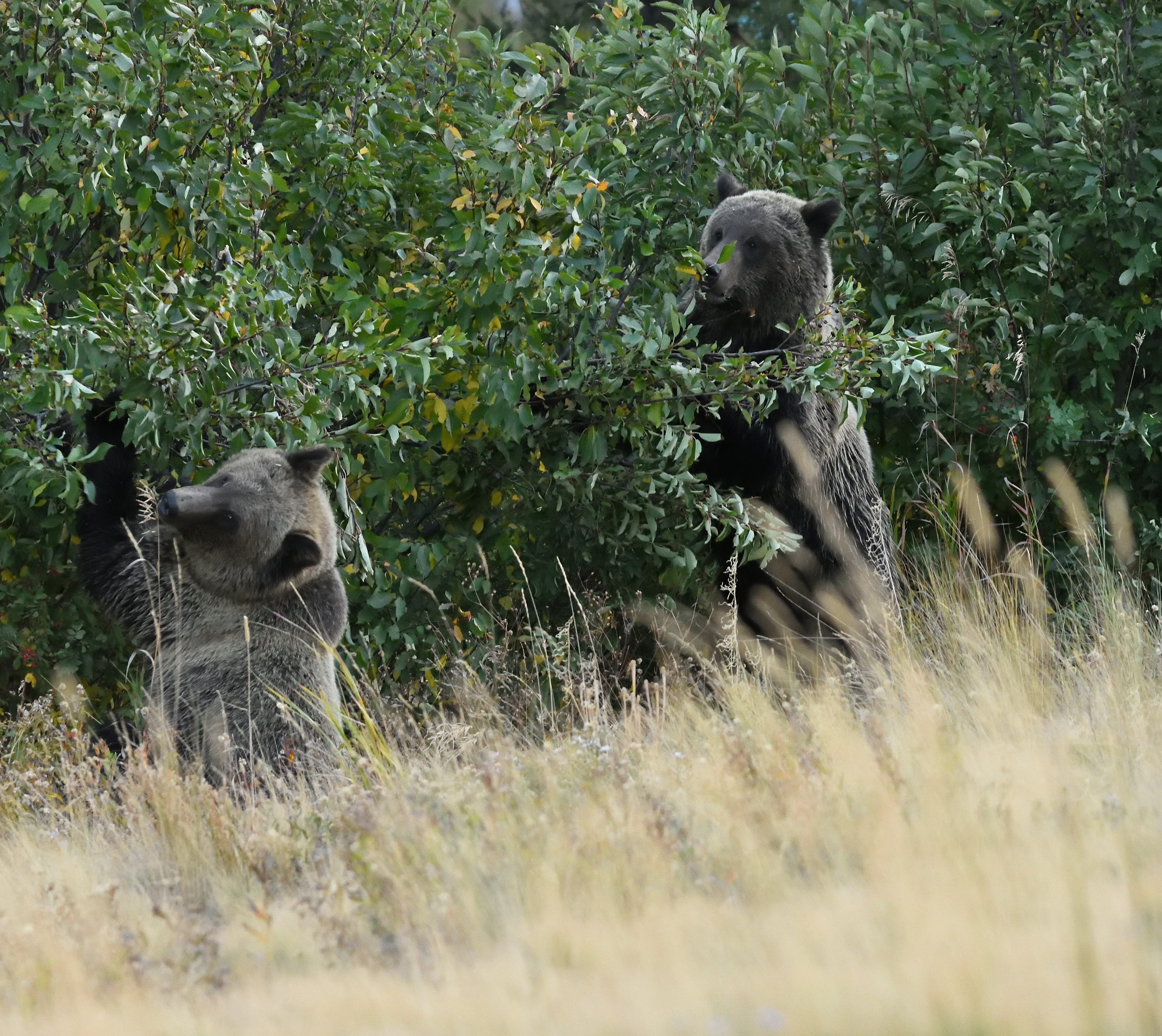 bears and examples of the Canadian wildlife that you can come across hiking Banff trails