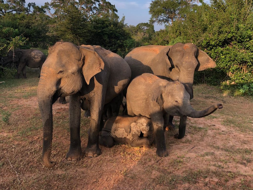 family of elephants during Sri Lanka tour