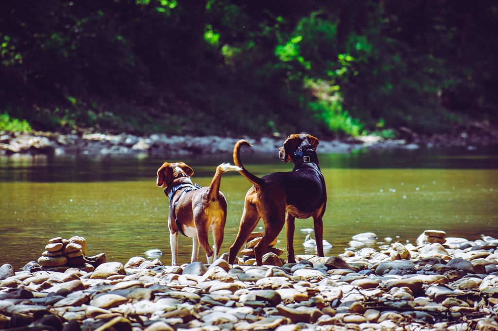 two dogs, hiking buddies for glampers perched next to body of water