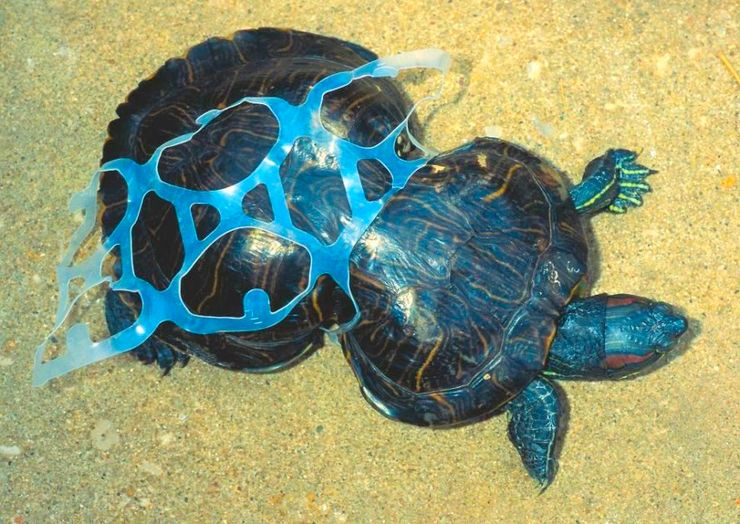 Image of two turtles caught in blue plastic and struggling to break free.